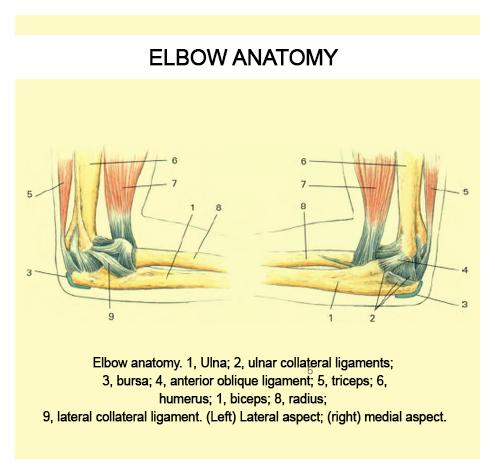 El Codo – Anatomía | Terapia Alternativa Muscular | Terapia Medica ...